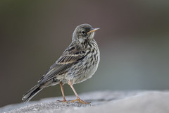 Meadow Pipit (Anthus pratensis). (dave.mcculley) Tags: bird nature outdoors wildlife meadow pipit meadowpipit