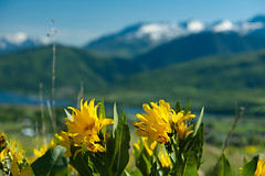The Mountains are Calling (Karen McQuilkin) Tags: utah wasatch snowcapped wildflowers themountainsarecalling karenmcquilkin