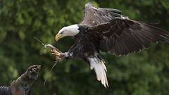 Weikopfseeadler (riese.laurenc) Tags: nikon vogelparksteinen vogelpark steinen weiskopfseeadler