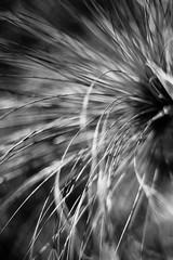 The Shedding Sun (belleshaw) Tags: blackandwhite plant abstract detail nature grass bokeh papyrus blades laarboretum