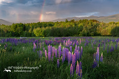 Sugar Hill NH Lupines (Bill Wakeley) Tags: flowers sunset wild mountains floral yellow spring rainbow glow purple newengland newhampshire sunsets whitemountains franconia ethereal glowing pastures wildflowers rainbows pastoral florals wildflower springflowers yellowflowers purpleflower lupine warmlight purpleflowers sugarhill lupines northernnewengland springflower yellowwildflowers presidentialrange inthewild wilflowers thewhitemountains sceniclandscape sceniclandscapes newenglandlandscape sugarhillnewhampshire samplerfield floweringlandscape billwakeley floweringlandscapes