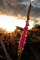 IMG_2687F (Cilmeri) Tags: trees sun wales clouds landscapes sunsets flare snowdonia contrejour sunbeams gwynedd foxgloves eryri trawsfynydd coedybrenin