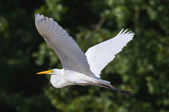 great egret 6-26-2016-104 (Scott Alan McClurg) Tags: life blue wild summer portrait sky sun white bird nature water animal fly flying back pond backyard glow wildlife flight bluesky neighborhood landing ardea eat wetlands land algae gliding flapping eatting flap stalk stalking greategret naturephotography glide ardeidae aalba
