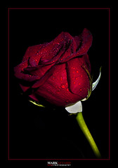 Red Rose (Mark Attard Photography) Tags: red black flower macro green love nature water rose closeup droplets petals nikon flash redrose valentine romance indoors setup waterdroplets external macrophotography 105mm d90 externalflash markattardphotography