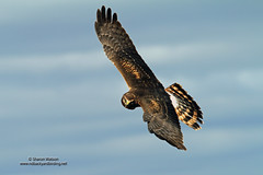 Northern Harrier (Circus cyaneus) (Sharon's Bird Photos) Tags: county nature wildlife ngc birding flight raptor northdakota northernharrier circuscyaneus traill supershot specanimal