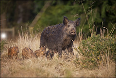 Spring 2012 Wild Boar Piglets (Ben Locke (Ben909)) Tags: nature wildlife gloucestershire boar forestofdean wildboar