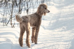 Winter Trails (Perry McKenna) Tags: winter dog snow trails fast canine spoo poodle cooper standardpoodle redpoodle waitedforme