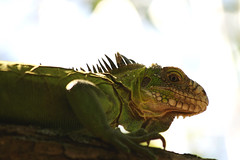 Iguane (Fanny et Anthony (NonSenZ)) Tags: martinique iguane iletchancel