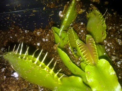 Dionaea muscipula typical (GaudianoDesign) Tags: typical dionaea muscipula