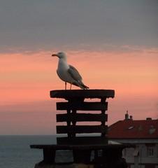 storia di una vedetta romantica (fotomie2009) Tags: sunset chimney sky bird fauna mediterraneo tramonto seagull cielo gabbiano reale comignoli larus larusmichahellis michahellis gabbianoreale gabbianorealezampegialle zampegialle