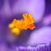 Early crocus (SLpixeLS) Tags: flower macro fleur photographie crocus pistil société sgp genevoise superaplus aplusphoto flickraward