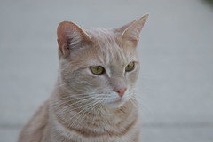 Jimmy (Kerri Lee Smith) Tags: orange cats pets animals cat beige feline tabby jimmy cream domestic kitties buff tabbies felines gazing orangecats shorthairs buffcats orangeandbuffcats beigecats