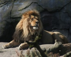 King of the  _ Zoo (Simply Sharn ~ on again off again) Tags: animals zoo bigcats