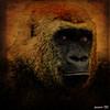 more human than many men │más humano que mucho hombres (jesuscm) Tags: madrid zoo spain nikon gorilla captivity gorila cautividad dragondaggeraward jesuscm magicunicornverybest magicunicornmasterpiece