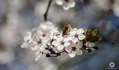 Ya lleg la primavera (Alvaro Shutter) Tags: flores flor zaragoza shutter alvaro marzo privamera nikond5100 alvarogl alvaroglcom alvarogarcialazaro alvarogarciaphotos alvarogarciafotografo alvaroshutter alvaroshuttercom