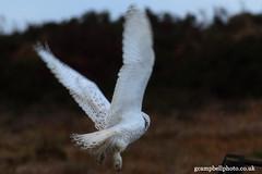 Snowy Owl (gcampbellphoto) Tags: bird nature snowy wildlife arctic owl northernireland rarity irishwildlife gcampbellphotocouk
