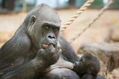 2012-02-11-14h19m45.272P4404 (A.J. Haverkamp) Tags: amsterdam zoo gorilla thenetherlands artis dierentuin shindy shambe canonef70200mmf28lisusmlens httpwwwartisnl dob03061985 pobamsterdamthenetherlands pobrotterdamthenetherlands dob04092011