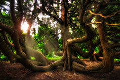 Lord of the Trees (Gabriel Tompkins) Tags: seattle park trees usa sun beautiful lines washington woods flora nikon warm branches curves sigma explore lotr fantasy bark ethereal mysterious pacificnorthwest mystical rays unusual limbs volunteerpark 1020mm washingtonstate magical 1020 pnw sunbeam emeraldcity hdr tolkien middleearth sinuous 2011 d90 lothlorien explored sigma1020mmf456exdc nikond90 tronam gabrieltompkins