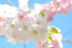 softly spoken (redglobe*) Tags: pink light sun flower nature germany licht spring nikon natur cologne köln blume blüte frühling wonderfulworldofflowers d5100