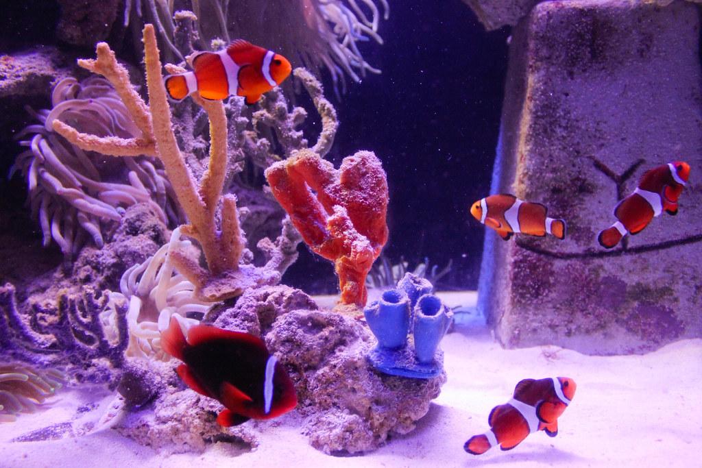 Nemo et ses amis - Poissons-Clowns - Atlantis - Paradise Island, Bahamas