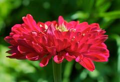 Racy Red (Deb Jones1) Tags: red macro beauty canon garden botanical outdoors flora flickrduel debjones1