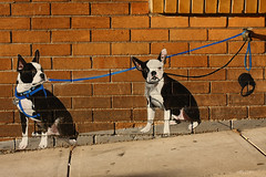 Double take (.OhSoBoHo) Tags: sanfrancisco california dog streetart cute art canon bostonterrier 50mm graffiti stencil canine northbeach kawaii canoneos40d