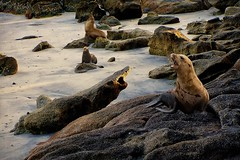 "DUC #547 - ""YOU WERE SAYING?"" (mark_rutley) Tags: california beach seal"