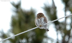 Northern Pygmy-Owl (Glaucidium gnoma) (Photography Through Tania's Eyes) Tags: trees canada bird nature animal pine fauna photography photo bill wings flora nikon photographer bc image britishcolumbia okanagan wildlife photograph owl powerline birdofprey okanaganvalley peachland northernpygmyowl glaucidiumgnoma featehrs copyrightimage nikond7000 taniasimpson