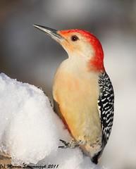 Profile of woodpecker (v4vodka) Tags: bird nature animal woodpecker wildlife birding redbelliedwoodpecker birdwatching melanerpescarolinus specanimal mortonrefuge dzieciol sunrays5