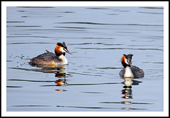 Great Crested Grebe (Fazer44) Tags: wild bird water canon wildlife greatcrestedgrebe paxtonpits eos7d