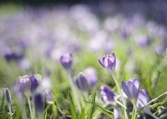 blossom, bloom, grow (manyfires) Tags: flowers grass oregon portland spring purple bokeh crocus pacificnorthwest pdx crocuses asseenyesterday seaofloveliness