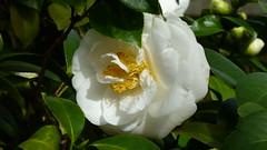 Camellia Japonica 'White Giant' at Planting Fields Arboretum (justmecpb) Tags: winter ny newyork tree arboretum longisland shrub goldcoast plantingfieldsarboretum camelliajaponica whitegiant
