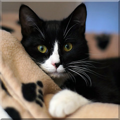 Bugs (hehaden) Tags: rescue white black cat square bed kitty tuxedo blanket tux bestofcats