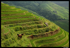 The dragon's horses (Dan Wiklund) Tags: china summer horses green nature asia rice natural terraces valley ricepaddies d200 levels chine agricultural riceterraces paddies guanxi longji 2011 argiculture dragonbackbone