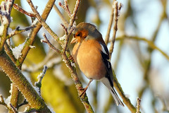 Steeply perched Chaffinch (SparkleHedgehog) Tags: life wild portrait sun snow male bird nature up sunshine birds female wings berry frost tit tits berries shine close snowy wildlife sony flight wing feathers feather sunny frosty lincolnshire finch finches perch perched ilc csc chaffinch perches sunning nex 70300g thewonderfulworldofbirds nex7 laea2