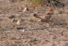 Coruja-do-nabal (SérgioMoreira) Tags: nature photography wildlife aves fotos vilanovadegaia shortearedowl asioflammeus corujadonabal sérgiomoreira