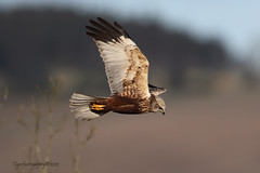 Marsh Harrier 2 (Ross Forsyth - tigerfastimagery) Tags: wild male nature scotland angus wildlife free marsh predator birdofprey bop harrier circusaeruginosus marshharrier