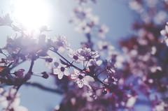 Spring comes (thisisforlovers) Tags: morning sky sun flores flower primavera sol mañana 50mm spring sunny pájaros nikkor 18 cherrytree cerezo soleado piar nikond7000