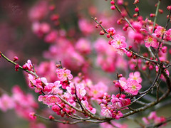 blossom (Marie Eve K.A. (Away)) Tags: pink red blur flower colour tree nature kyoto dof bokeh f14 85mm olympuspen japon planar ep2 plumblossoms carlzeiss redplumblossoms