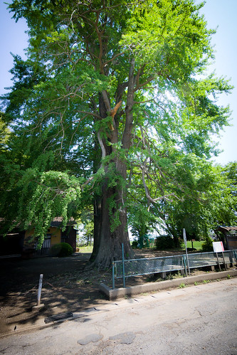 #16 The Giant Ginkgo of Hoshimiya Shrine