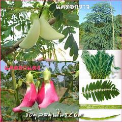 พืช ผัก สมุนไพร แคดอกขาว แคดอกแดง