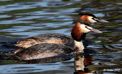 Seeing Double , Mr + Mrs Great Crested Grebe (claylaner) Tags: england water cheshire ngc greatcrestedgrebe podicepscristatus siddington canon60d redesmere mygearandme