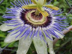 passion flower n dew
