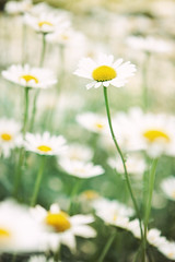 Melancholy Hill (AnnuskA  - AnnA Theodora) Tags: flowers white green nature colors beautiful yellow daisies daisy paulo margarida so
