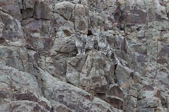 Snow Leopards (Baractus) Tags: snow john cub leopard valley oates safaris royle tarbung snowleopardhemisnationalparkladakhindiajammukashmirroylesafaris