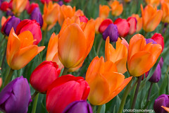 2014tulips1_jsm (JayEssEmm) Tags: flowers tower garden ma tulips massachusetts hill tulip botanic boylston mcelvery jsmcelvery