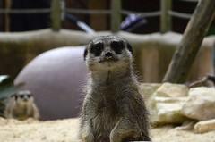 Meerkat (mickscothern) Tags: meerkat nikon 3200 southyorkshire