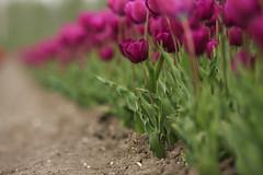 tulip I (beta karel) Tags: flowers flower green spring purple tulips tulip agriculture polder almere tulpen 2014 tulp tulipi ©betakarel