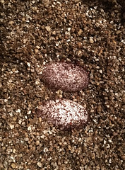 Gecko eggs (yosmama151) Tags: reptile egg herp leopardgecko vermiculite