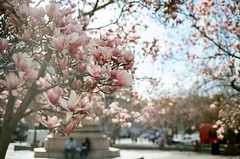 these are not cherry blossoms (september.) Tags: street city pink flower tree film 35mm washingtondc spring downtown nw northwest cherryblossoms canonae1 canonfd50mmf14 kodakportra400 northernmagnolia